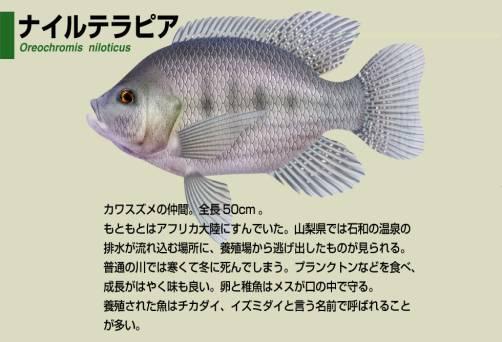 淡水魚事典(メダカ・カダヤシ・タイワンドジョウ・バス・カワスズメ・ハゼ・カジカ科)
